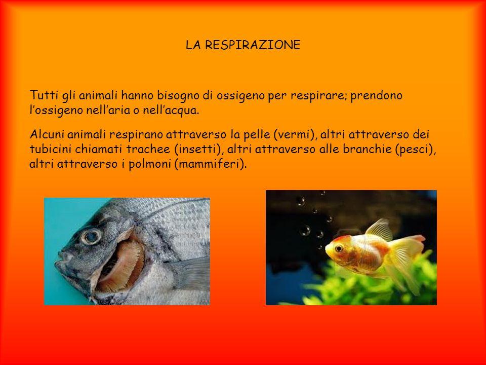 LA RESPIRAZIONE Tutti gli animali hanno bisogno di ossigeno per respirare; prendono lossigeno nellaria o nellacqua. Alcuni animali respirano attravers