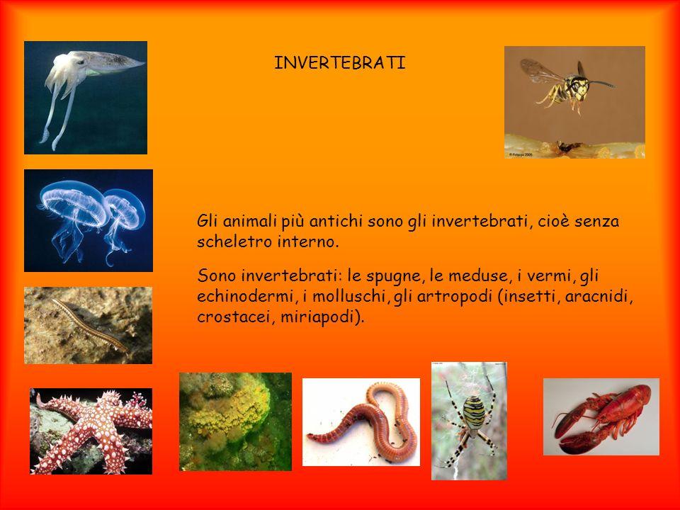INVERTEBRATI Gli animali più antichi sono gli invertebrati, cioè senza scheletro interno. Sono invertebrati: le spugne, le meduse, i vermi, gli echino