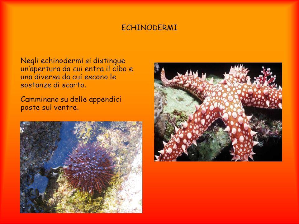 ECHINODERMI Negli echinodermi si distingue unapertura da cui entra il cibo e una diversa da cui escono le sostanze di scarto. Camminano su delle appen