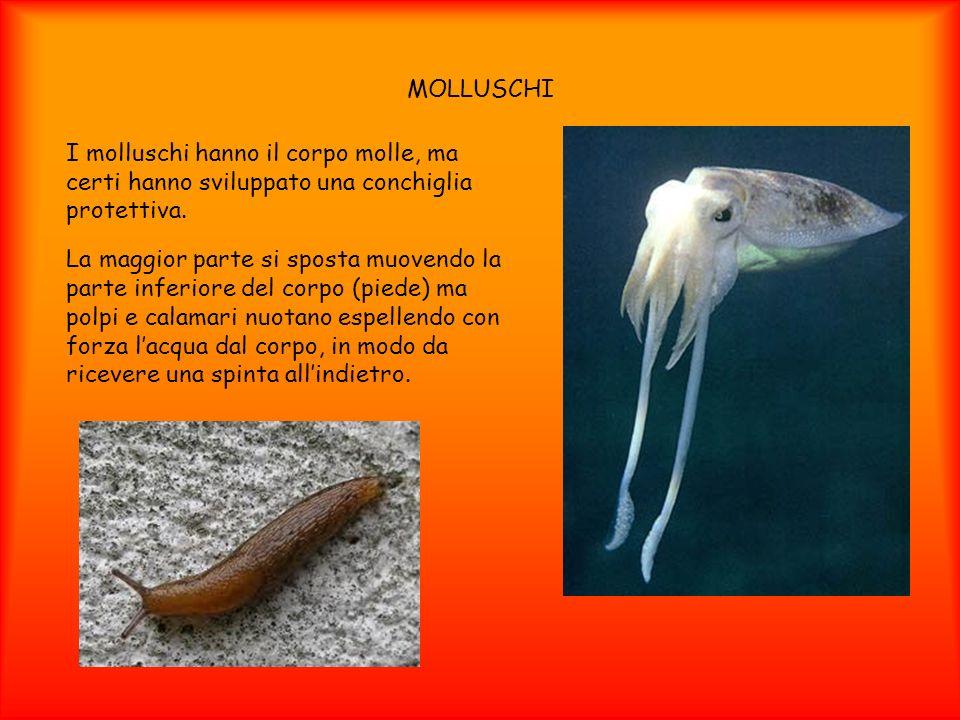 MOLLUSCHI I molluschi hanno il corpo molle, ma certi hanno sviluppato una conchiglia protettiva. La maggior parte si sposta muovendo la parte inferior