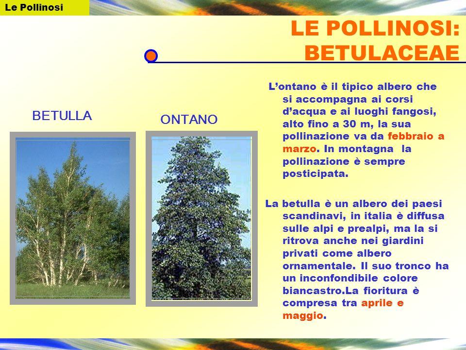LE POLLINOSI: BETULACEAE Lontano è il tipico albero che si accompagna ai corsi dacqua e ai luoghi fangosi, alto fino a 30 m, la sua pollinazione va da