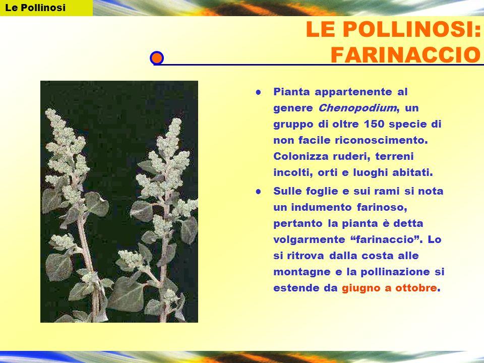 Pianta appartenente al genere Chenopodium, un gruppo di oltre 150 specie di non facile riconoscimento. Colonizza ruderi, terreni incolti, orti e luogh