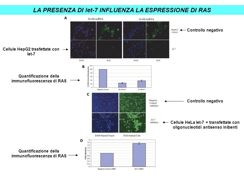 LA PRESENZA DI let-7 INFLUENZA LA ESPRESSIONE DI RAS Cellule HeLa let-7 + transfettate con oligonucleotidi antisenso inibenti Quantificazione della im