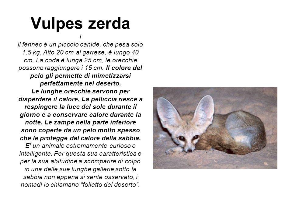 Vulpes zerda I il fennec è un piccolo canide, che pesa solo 1,5 kg. Alto 20 cm al garrese, è lungo 40 cm. La coda è lunga 25 cm, le orecchie possono r