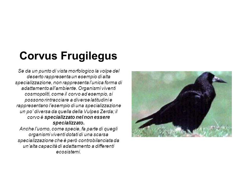 Corvus Frugilegus Se da un punto di vista morfologico la volpe del deserto rappresenta un esempio di alta specializzazione, non rappresenta lunica for