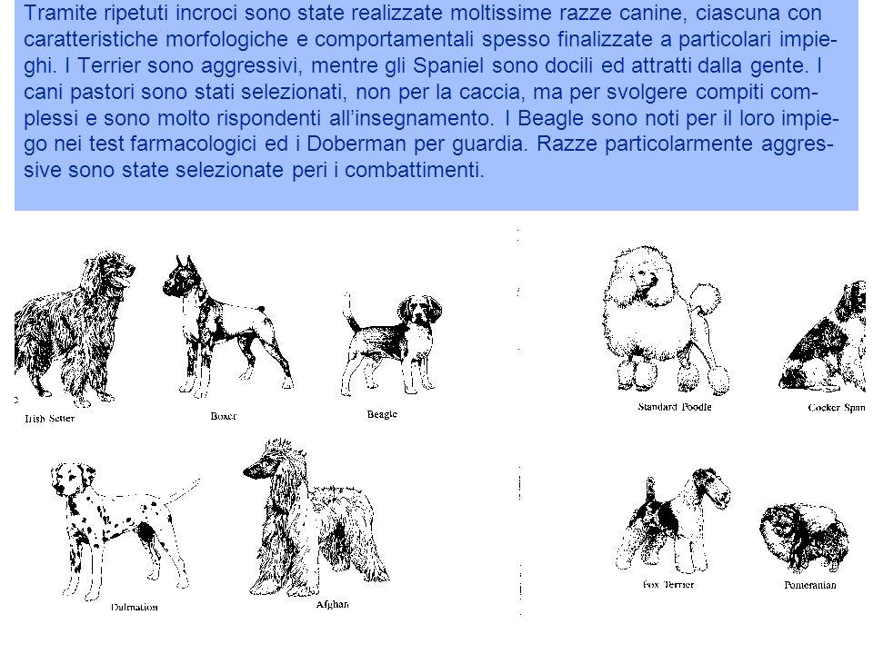 Tramite ripetuti incroci sono state realizzate moltissime razze canine, ciascuna con caratteristiche morfologiche e comportamentali spesso finalizzate