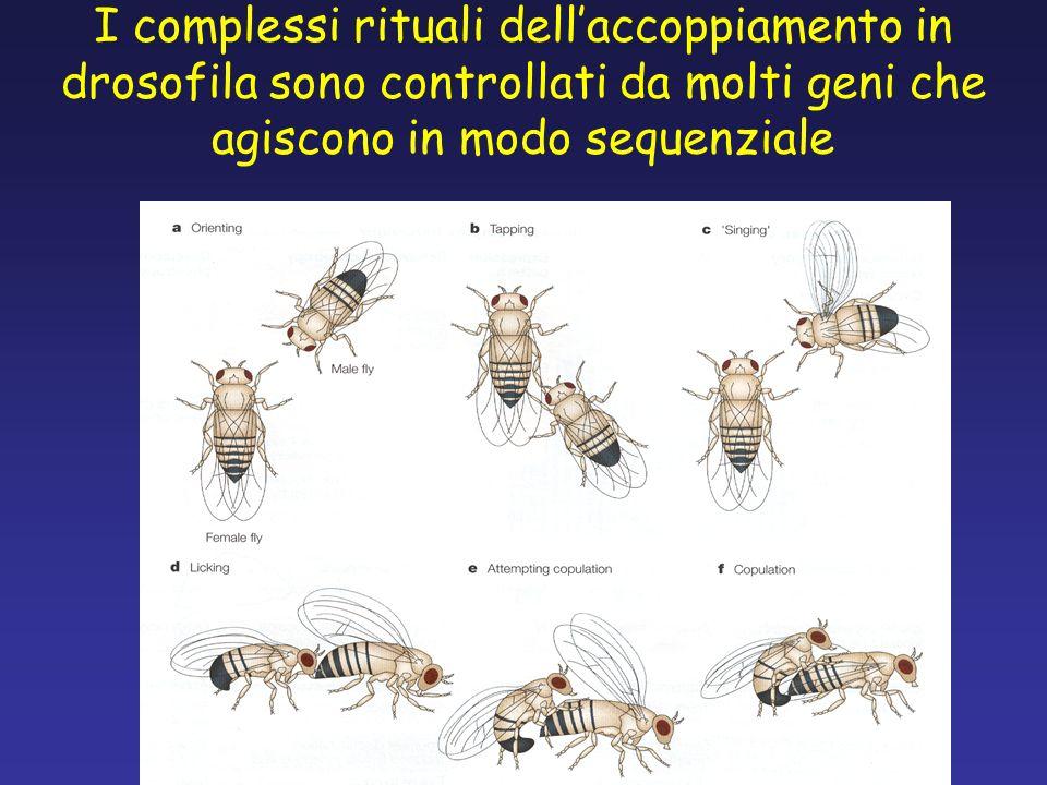 I complessi rituali dellaccoppiamento in drosofila sono controllati da molti geni che agiscono in modo sequenziale