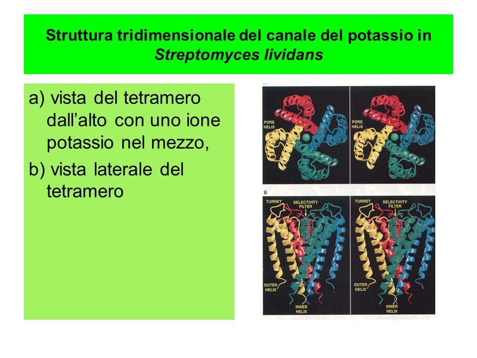 Struttura tridimensionale del canale del potassio in Streptomyces lividans a) vista del tetramero dallalto con uno ione potassio nel mezzo, b) vista l