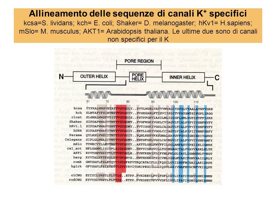 Allineamento delle sequenze di canali K + specifici kcsa=S. lividans; kch= E. coli; Shaker= D. melanogaster; hKv1= H.sapiens; mSlo= M. musculus; AKT1=