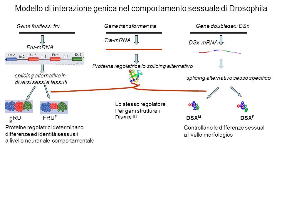 Modello di interazione genica nel comportamento sessuale di Drosophila Gene fruitless: fru Gene transformer: traGene doublesex: DSx Fru-mRNA Tra-mRNA