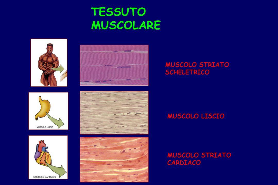 I muscoli SCHELETRICI (muscoli striati volontari) sono formati da FIBRE MUSCOLARI che si organizzano tra loro grazie a tessuto connettivo: TESSUTO MUSCOLARE SCHELETRICO – –EPIMISIO – –PERIMISIO – –ENDOMISIO EPIMISIOPERIMISIO ENDOMISIO