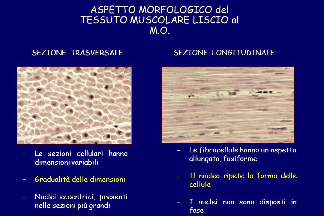 ASPETTO MORFOLOGICO del TESSUTO MUSCOLARE LISCIO al M.O. SEZIONE TRASVERSALESEZIONE LONGITUDINALE – –Le sezioni cellulari hanno dimensioni variabili –