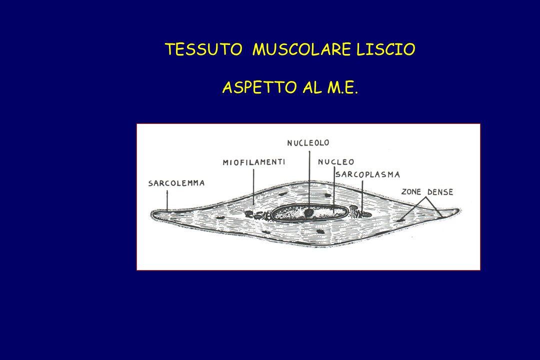 TESSUTO MUSCOLARE LISCIO ASPETTO AL M.E.