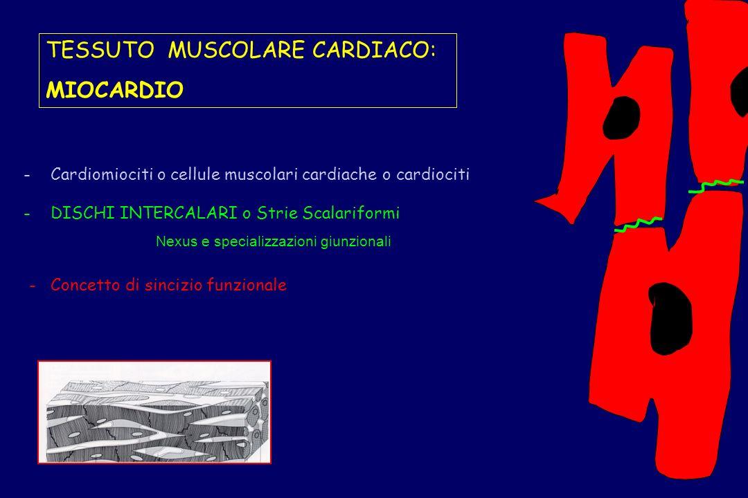 - Cardiomiociti o cellule muscolari cardiache o cardiociti Nexus e specializzazioni giunzionali - DISCHI INTERCALARI o Strie Scalariformi - Concetto d