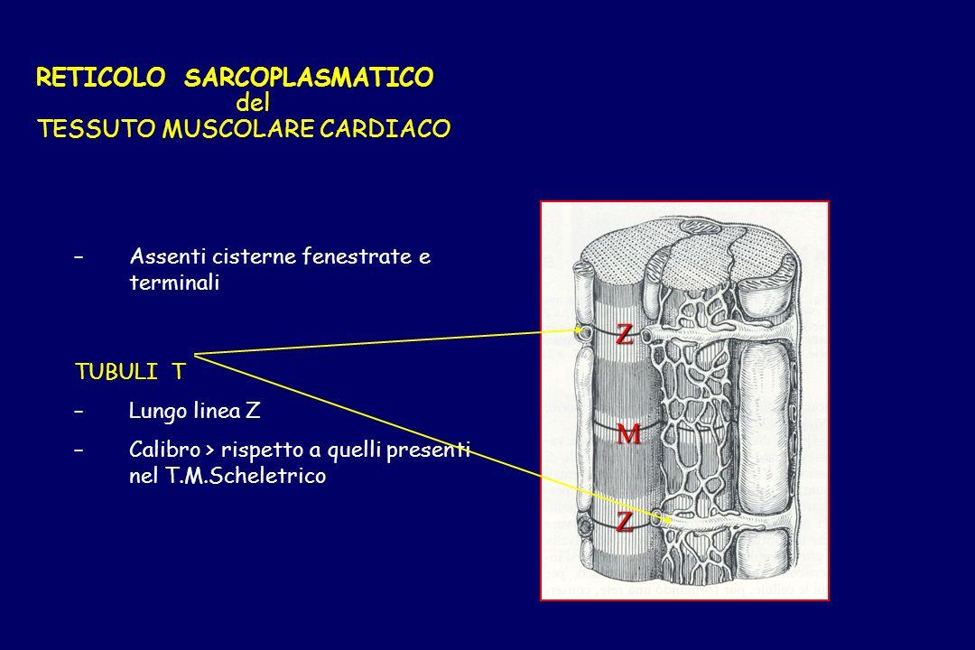 RETICOLO SARCOPLASMATICO del TESSUTO MUSCOLARE CARDIACO – –Assenti cisterne fenestrate e terminali TUBULI T – –Lungo linea Z – –Calibro > rispetto a q