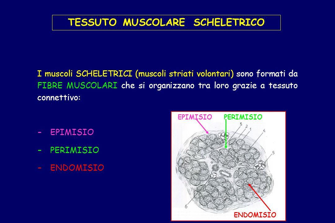 I muscoli SCHELETRICI (muscoli striati volontari) sono formati da FIBRE MUSCOLARI che si organizzano tra loro grazie a tessuto connettivo: TESSUTO MUS