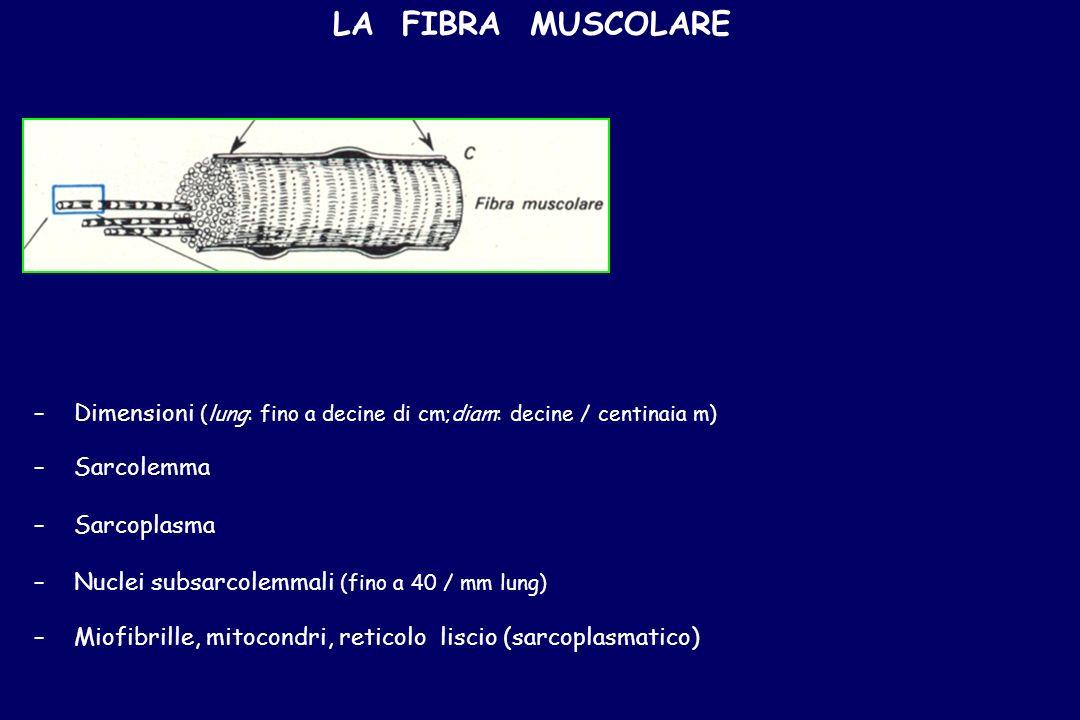 LA FIBRA MUSCOLARE – –Dimensioni (lung: fino a decine di cm;diam: decine / centinaia m) – –Sarcolemma – –Sarcoplasma – –Nuclei subsarcolemmali (fino a