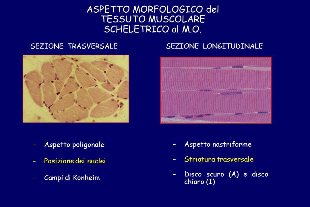 IL SARCOMERO Unità ripetitiva compresa tra 2 linee Z successive (2.5 / 3 m) Unità strutturale contrattile della fibra muscolare A I zz Fibra muscolare M