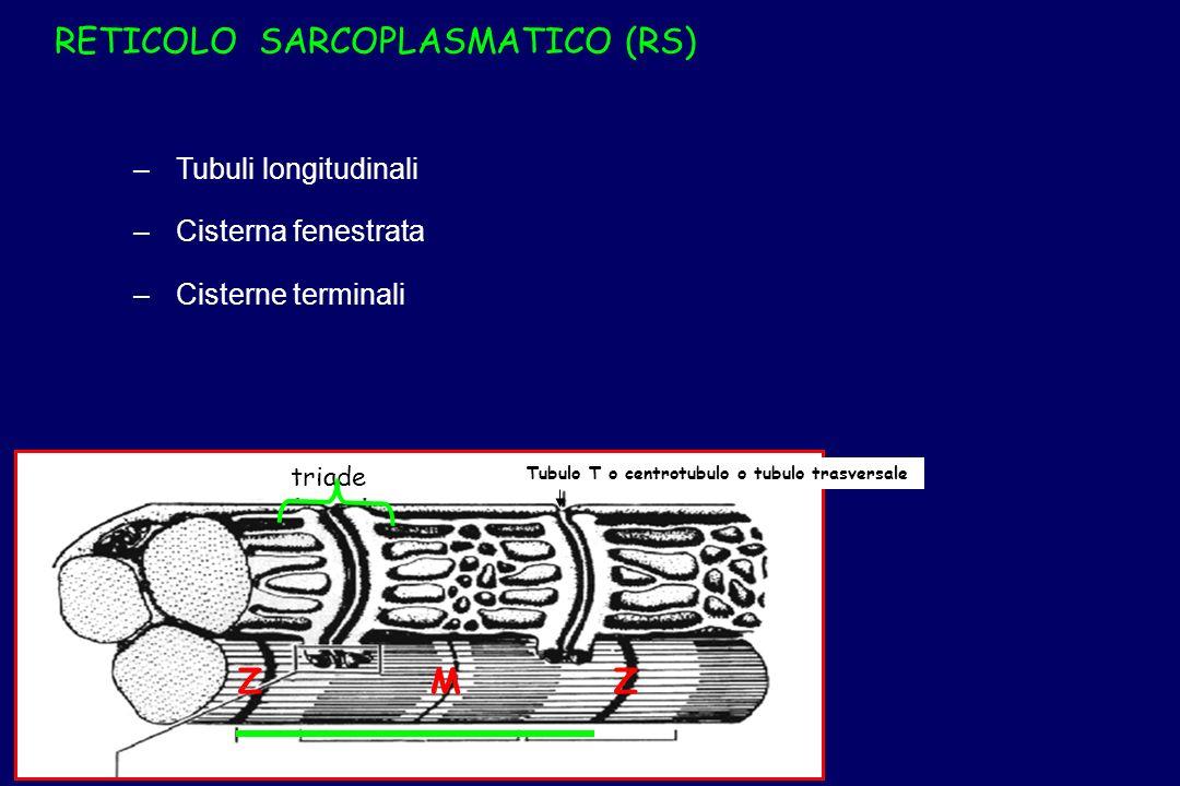 – –Tubuli longitudinali – –Cisterna fenestrata – –Cisterne terminali RETICOLO SARCOPLASMATICO (RS) Tubulo T o centrotubulo o tubulo trasversale MZZ tr