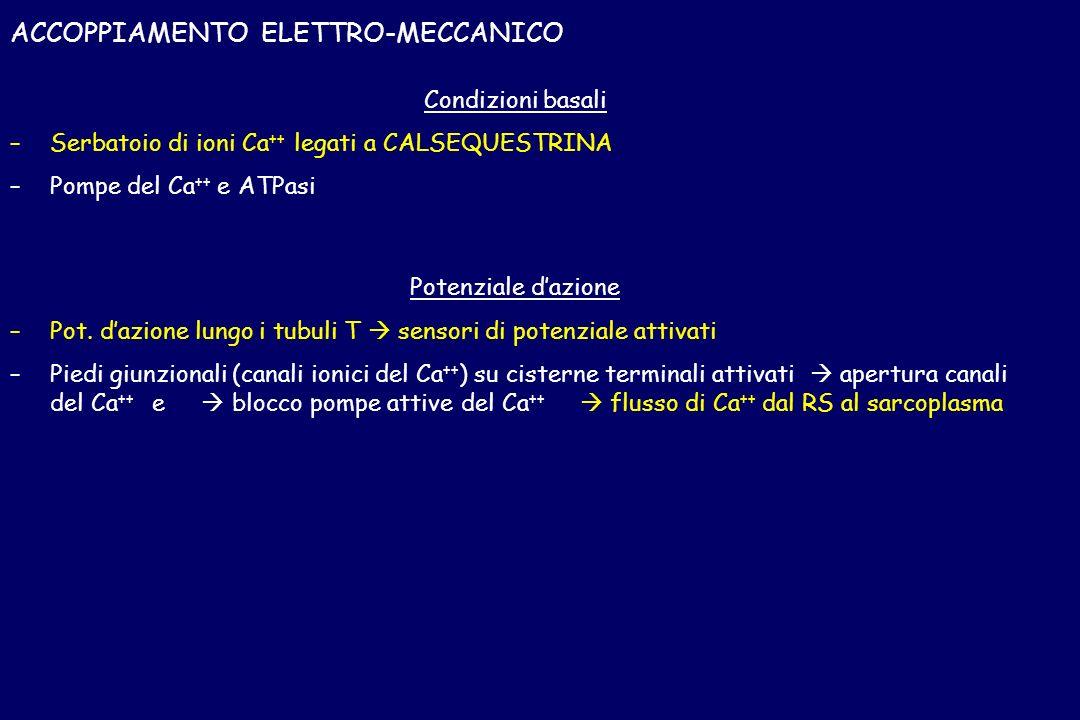ACCOPPIAMENTO ELETTRO-MECCANICO Condizioni basali – –Serbatoio di ioni Ca ++ legati a CALSEQUESTRINA – –Pompe del Ca ++ e ATPasi Potenziale dazione –