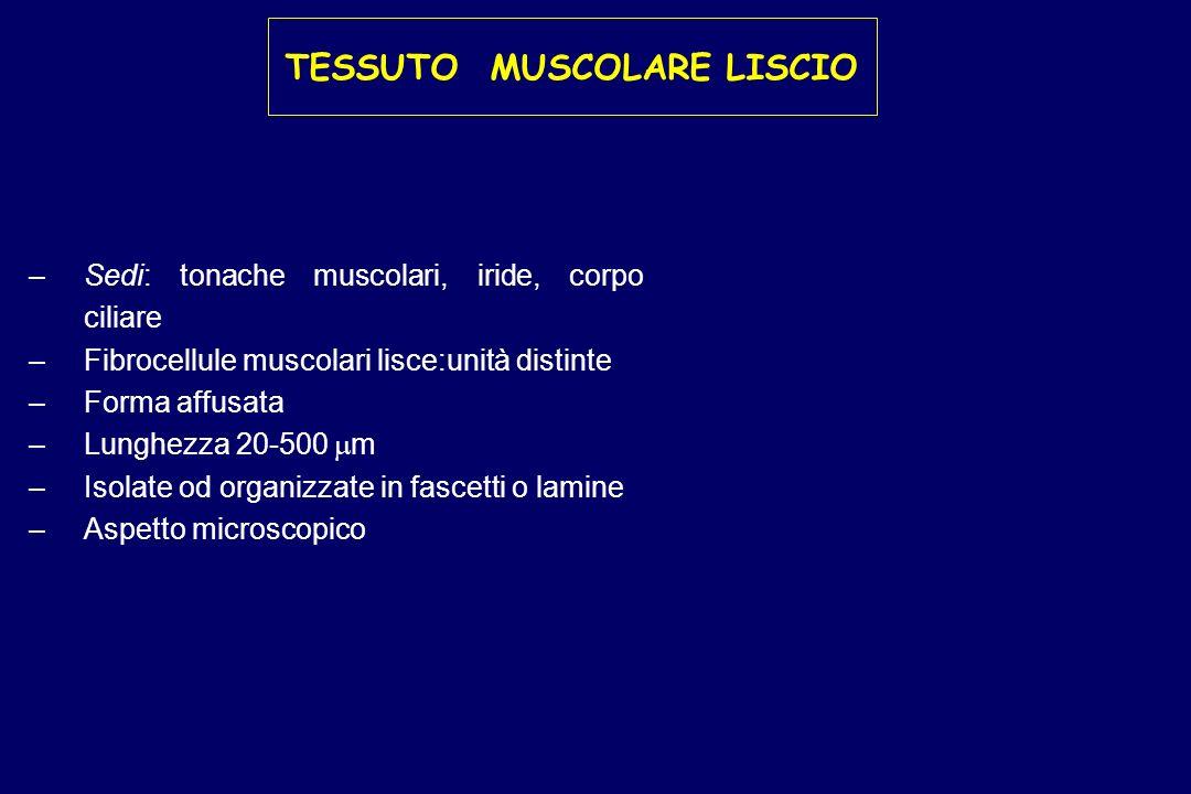 TESSUTO MUSCOLARE LISCIO – –Sedi: tonache muscolari, iride, corpo ciliare – –Fibrocellule muscolari lisce:unità distinte – –Forma affusata – –Lunghezz