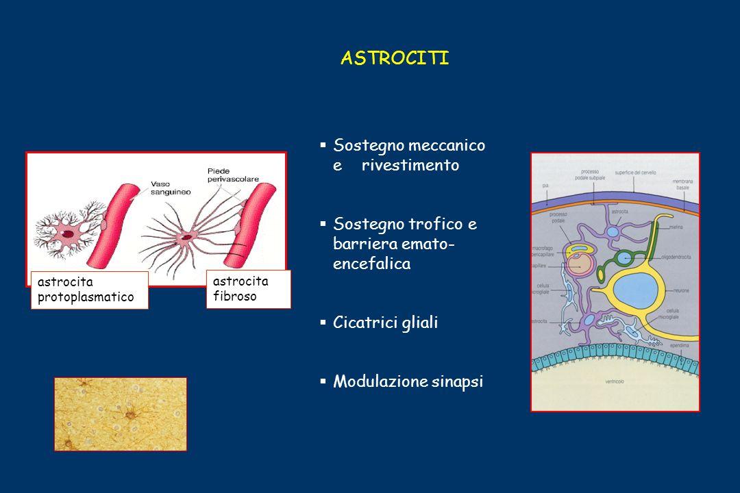 ASTROCITI astrocita protoplasmatico astrocita fibroso Sostegno meccanico e rivestimento Sostegno trofico e barriera emato- encefalica Cicatrici gliali