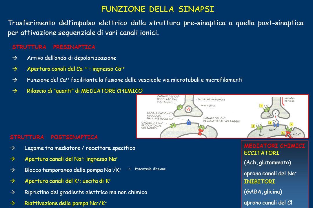 FUNZIONE DELLA SINAPSI Trasferimento dellimpulso elettrico dalla struttura pre-sinaptica a quella post-sinaptica per attivazione sequenziale di vari c