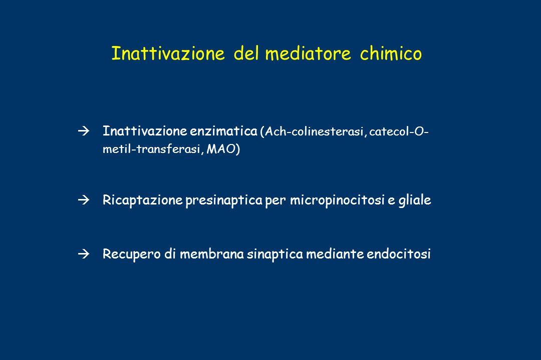 Inattivazione del mediatore chimico Inattivazione enzimatica (Ach-colinesterasi, catecol-O- metil-transferasi, MAO) Ricaptazione presinaptica per micr