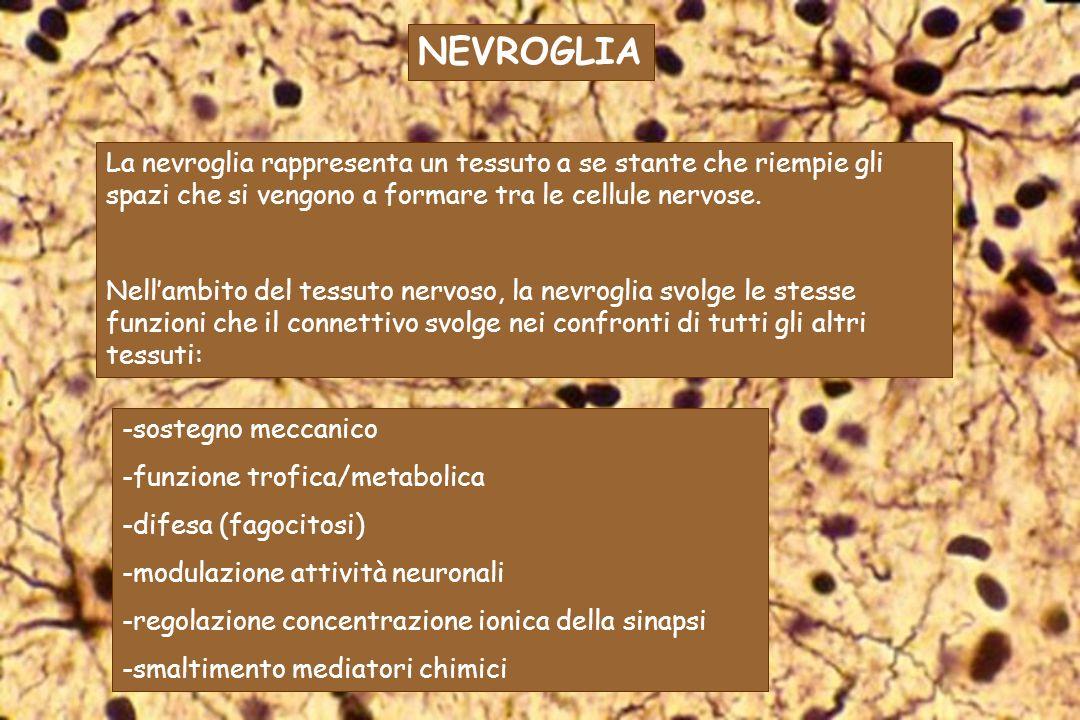 -sostegno meccanico -funzione trofica/metabolica -difesa (fagocitosi) -modulazione attività neuronali -regolazione concentrazione ionica della sinapsi