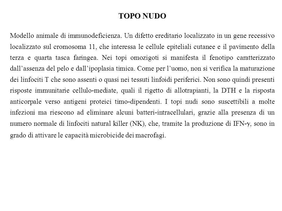 TOPO NUDO Modello animale di immunodeficienza.