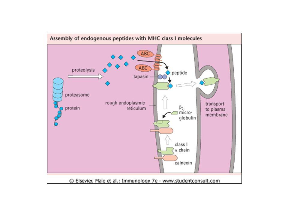 Lassenza di molecole di classe II nel timo non permette la selezione positiva dei linfociti T CD4+ 28 Cellule epiteliali della corticale timica MHC classe II + Cellule epiteliali della corticale timica MHC classe II - Linfociti T CD4+ Linfociti T CD8+ IN PIU Assenza di presentazione antigenica