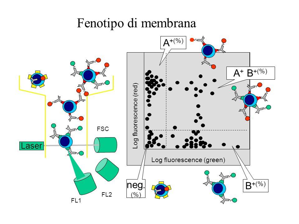 CD4 CD8 Fenotipo di membrana fluorescenza
