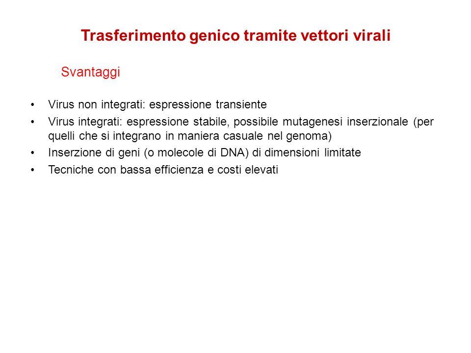 Virus non integrati: espressione transiente Virus integrati: espressione stabile, possibile mutagenesi inserzionale (per quelli che si integrano in ma