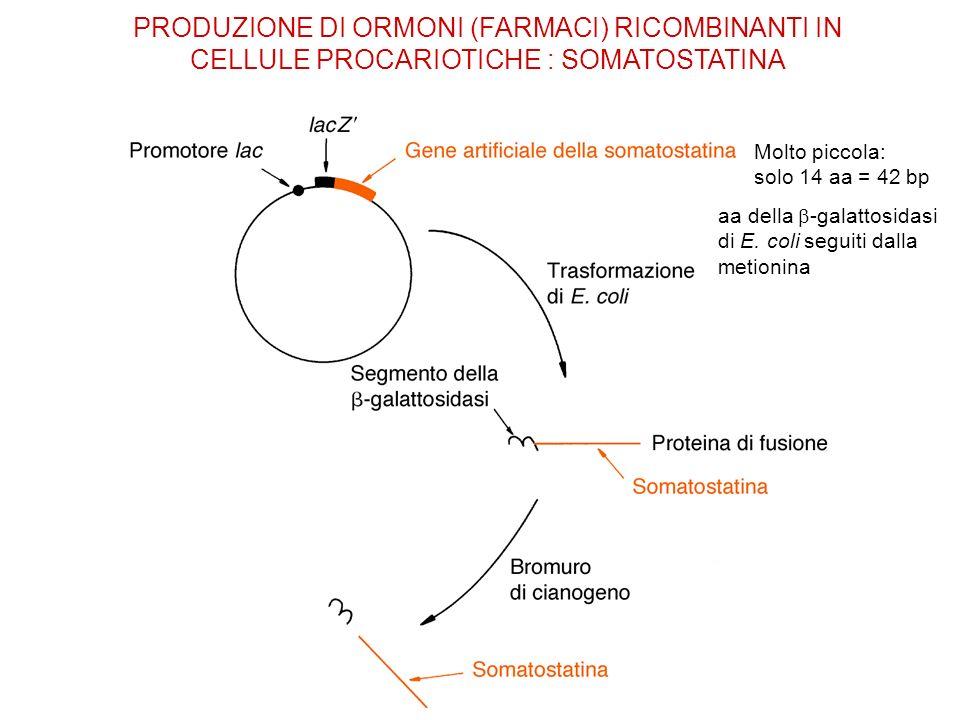PRODUZIONE DI ORMONI (FARMACI) RICOMBINANTI IN CELLULE PROCARIOTICHE : SOMATOSTATINA Molto piccola: solo 14 aa = 42 bp aa della -galattosidasi di E. c