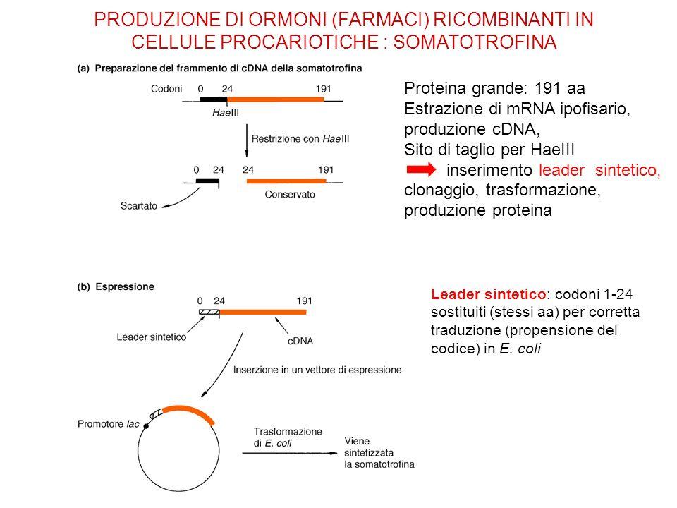 PRODUZIONE DI ORMONI (FARMACI) RICOMBINANTI IN CELLULE PROCARIOTICHE : SOMATOTROFINA Leader sintetico: codoni 1-24 sostituiti (stessi aa) per corretta