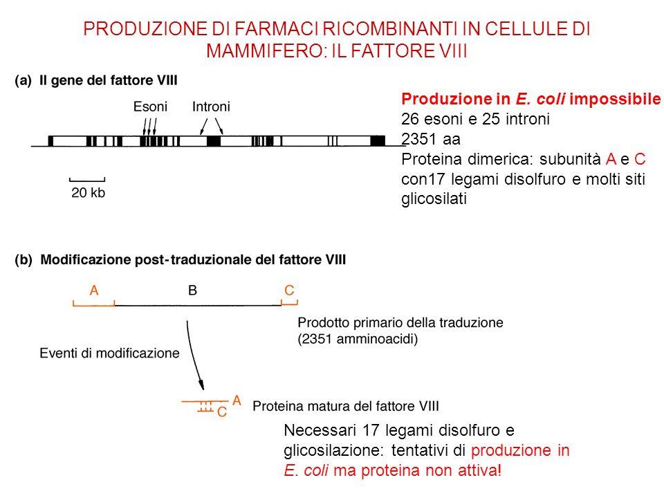 PRODUZIONE DI FARMACI RICOMBINANTI IN CELLULE DI MAMMIFERO: IL FATTORE VIII Produzione in E. coli impossibile 26 esoni e 25 introni 2351 aa Proteina d