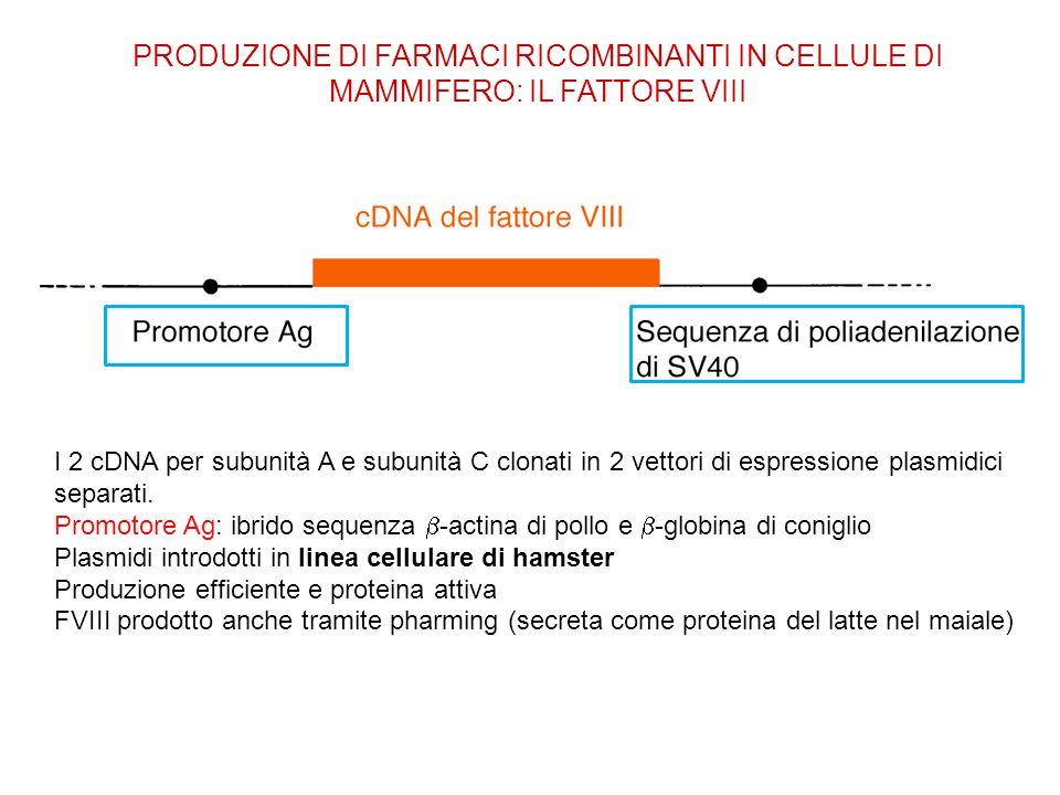 PRODUZIONE DI FARMACI RICOMBINANTI IN CELLULE DI MAMMIFERO: IL FATTORE VIII I 2 cDNA per subunità A e subunità C clonati in 2 vettori di espressione p