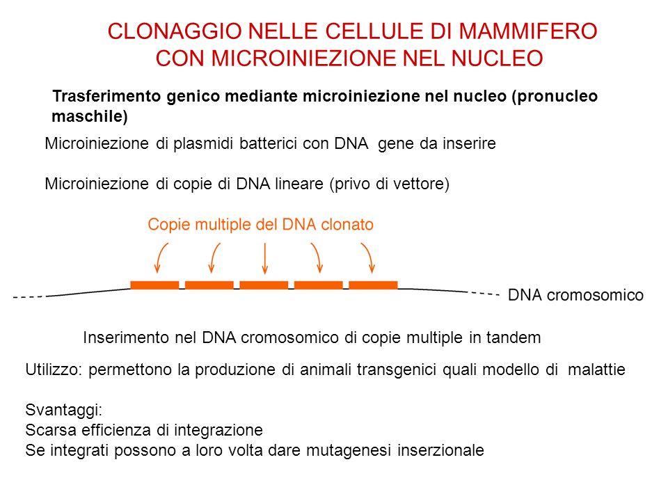 CLONAGGIO NELLE CELLULE DI MAMMIFERO CON MICROINIEZIONE NEL NUCLEO Trasferimento genico mediante microiniezione nel nucleo (pronucleo maschile) Microi