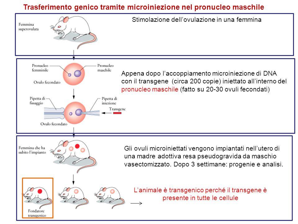 Stimolazione dellovulazione in una femmina Appena dopo laccoppiamento microiniezione di DNA con il transgene (circa 200 copie) iniettato allinterno de