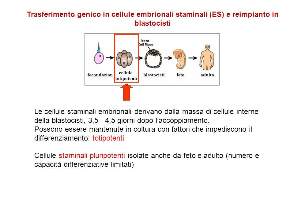 Trasferimento genico in cellule embrionali staminali (ES) e reimpianto in blastocisti Le cellule staminali embrionali derivano dalla massa di cellule