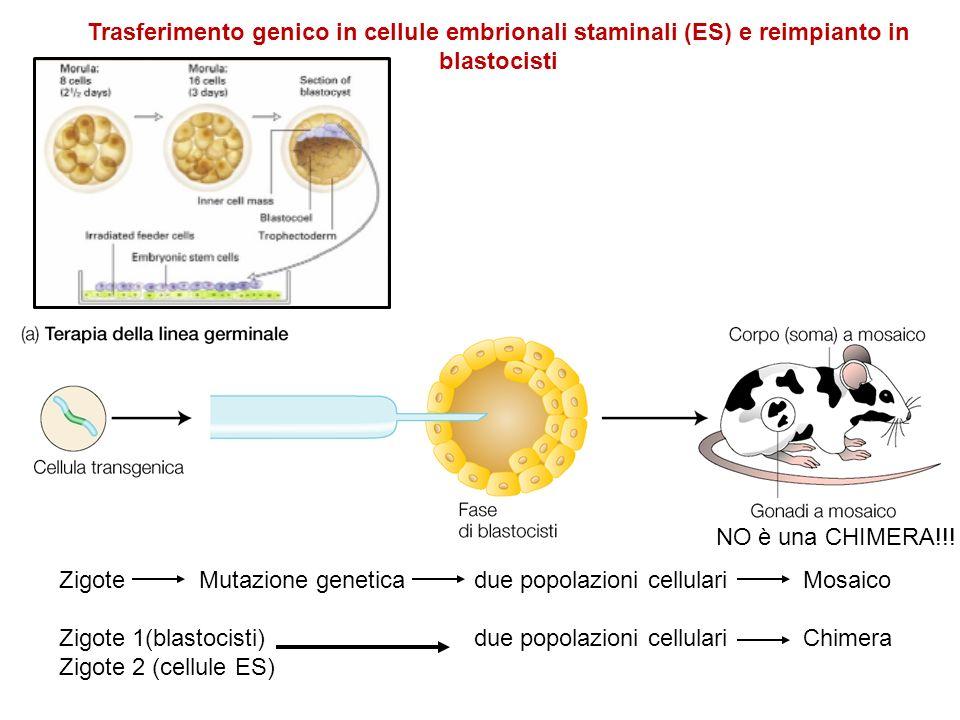 NO è una CHIMERA!!! Zigote Mutazione genetica due popolazioni cellulari Mosaico Zigote 1(blastocisti) due popolazioni cellulari Chimera Zigote 2 (cell