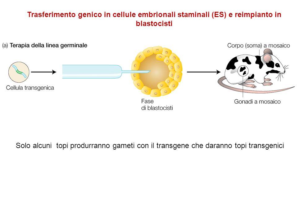 Solo alcuni topi produrranno gameti con il transgene che daranno topi transgenici Trasferimento genico in cellule embrionali staminali (ES) e reimpian