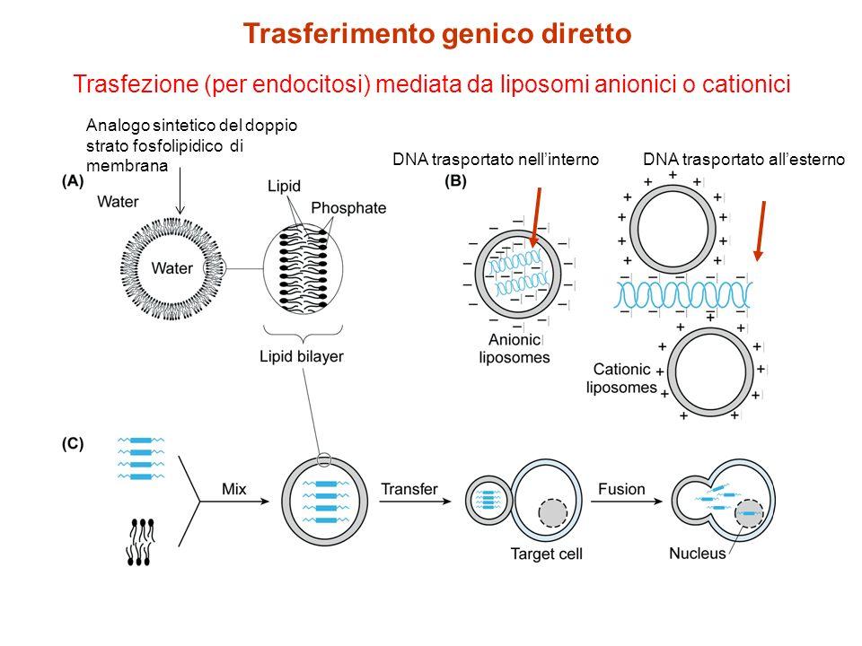 Trasfezione (per endocitosi) mediata da liposomi anionici o cationici DNA trasportato nellinternoDNA trasportato allesterno Trasferimento genico diret