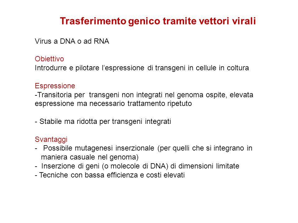 Trasferimento genico tramite vettori virali Virus a DNA o ad RNA Obiettivo Introdurre e pilotare lespressione di transgeni in cellule in coltura Espre