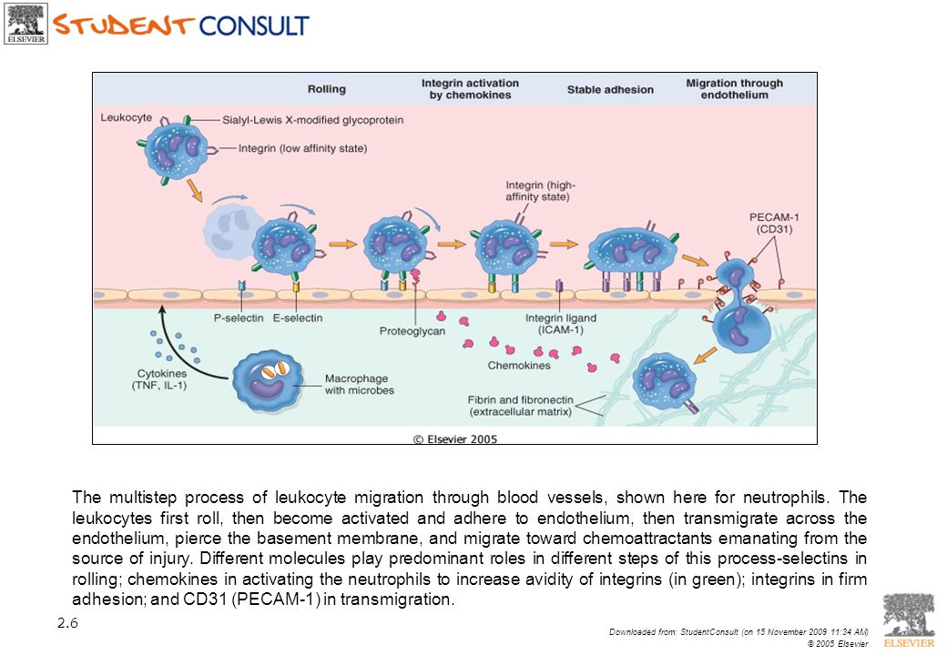 The multistep process of leukocyte migration through blood vessels, shown here for neutrophils. The leukocytes first roll, then become activated and a