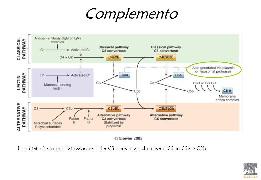 Complemento Il risultato è sempre lattivazione della C3 convertasi che cliva il C3 in C3a e C3b
