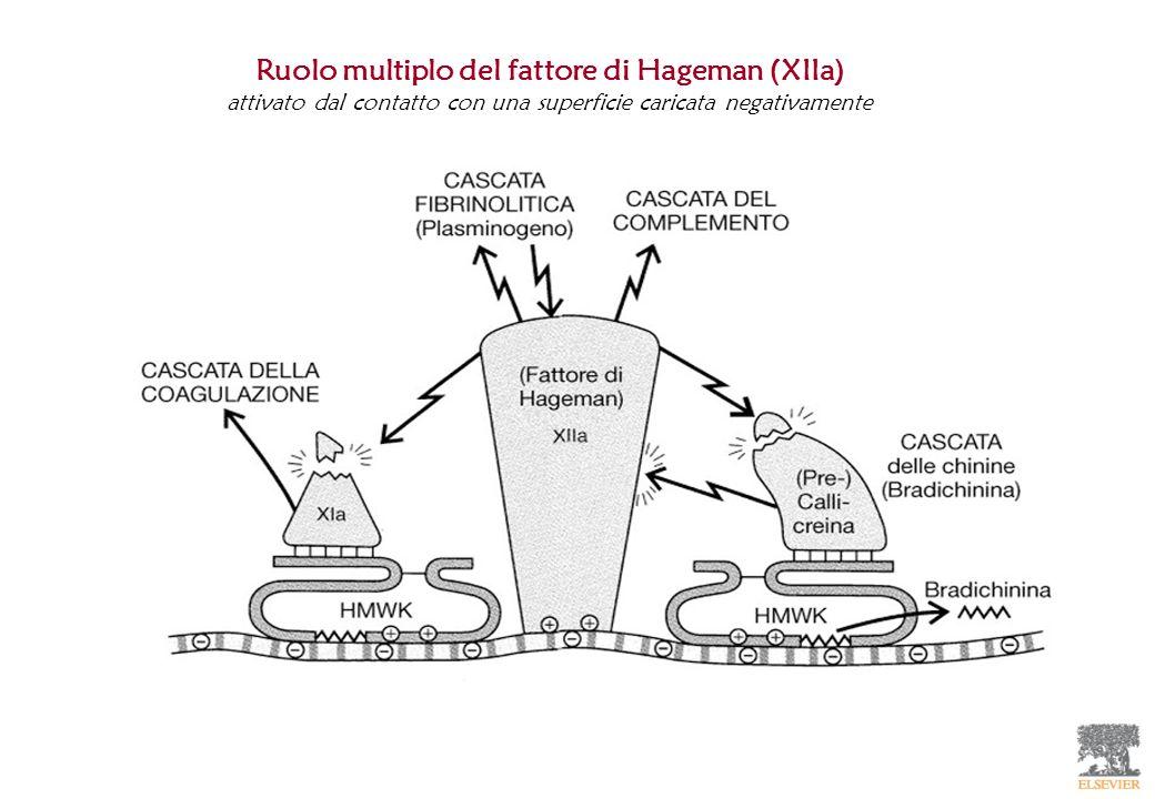Ruolo multiplo del fattore di Hageman (XIIa) attivato dal contatto con una superficie caricata negativamente