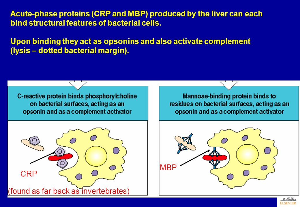 Acute-phase proteins (CRP and MBP) produced by the liver can each bind structural features of bacterial cells.