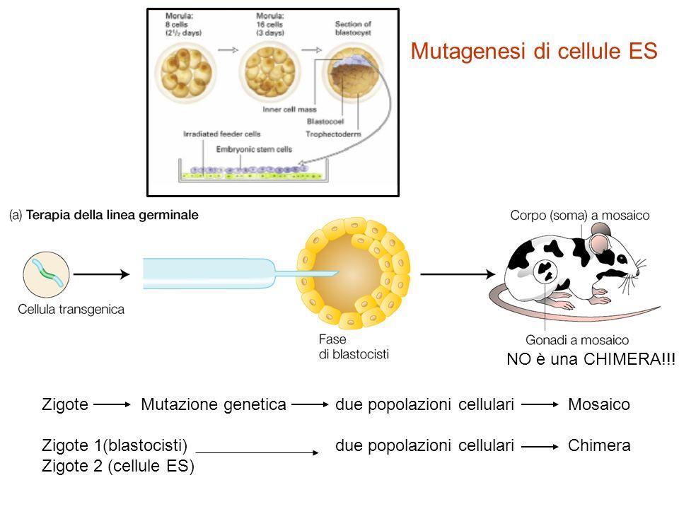 Mutagenesi di cellule ES NO è una CHIMERA!!! Zigote Mutazione genetica due popolazioni cellulari Mosaico Zigote 1(blastocisti) due popolazioni cellula