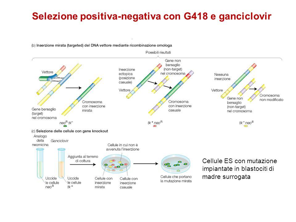 Selezione positiva-negativa con G418 e ganciclovir Cellule ES con mutazione impiantate in blastociti di madre surrogata